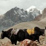 Yaks am Shimshal Pass