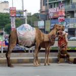 Kamele in Rawalpindi