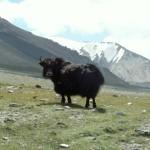 Yak auf dem Shimshal Trek